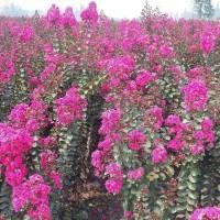 培春园艺 50-150 苗木花卉  供应丛生紫薇丛生紫薇 丛生紫薇供应商